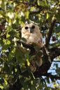 Juvenile Pel's Fishing Owl