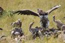Lappet Faced Vulture at Kill