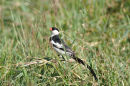 Pin Tailed Whyddah