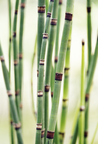 Equisetum Water Horsetail