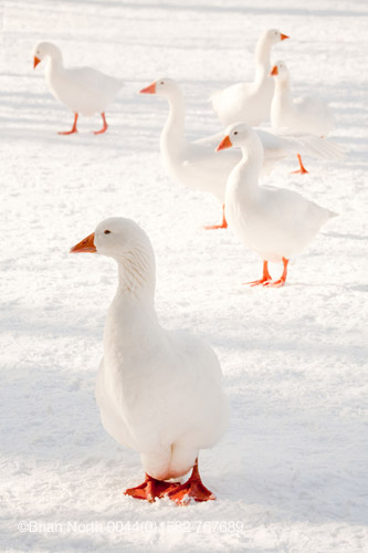 Sixth day of Christmas. Snow Geese