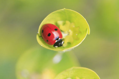 Ladybird on Euphobia