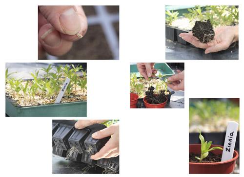 Planting Zinnia seeds