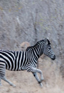 Zebra crossing