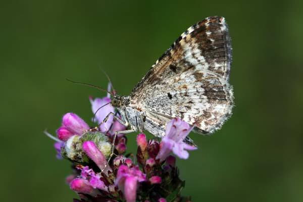 Argent & Sable Moth