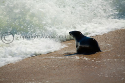 Cape Cross Seal Pup