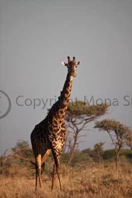 Giraffe, Lobo, Serengeti National Park, Tanzania