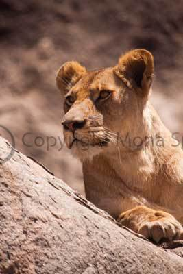 Lioness at Gol Kopjes, Ndutu, Serengeti National Park, Tanzania