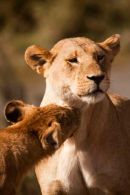 Lion cub greeting his mother