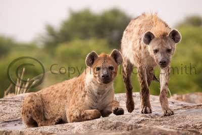 Hyena chilling in a puddle