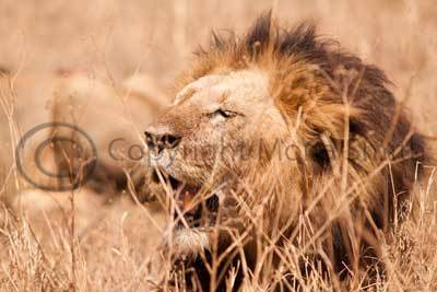 Male lion after the hunt