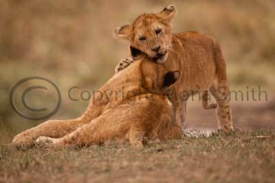 Lion cub greets his mother