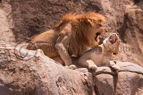 Mating Lions at Gol Kopjes