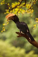 Silverycheeked Hornbill at Lake Manyara