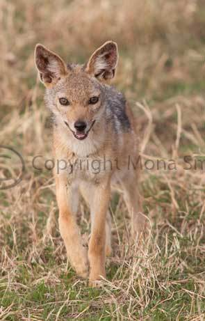 Black backed jackal cub