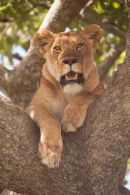 Tree lioness of the Serengeti