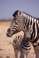 Zebra mum and baby