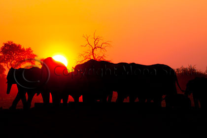 Elephant Sunset. Wildlife Photographer of the Year 2010 Semifinalist