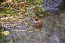 Kent Frog