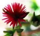 Maltese daisy